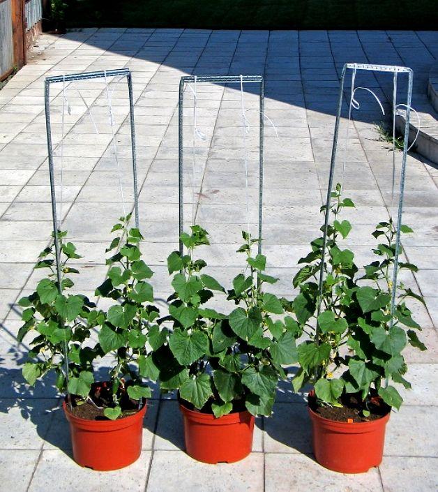 Выращиваем огурцы в горшочках